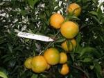 Caffin citrus clementine
