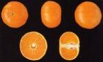 Fotrune citrus deliciosa