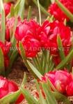 Тюльпан ботанический махровый Хамилис
