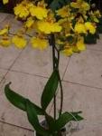 Oncidium желтый
