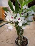 Orchidee Dendrobium nobile белый с темным центром