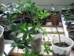 Passiflora caerulea - Пассифлора голубая