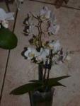 Phalaenopsis миниатюрный белый