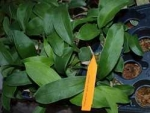 Odm (Rossioglossum). grande x splendens