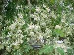 Moringa oleifera - Моринга масличная (3 шт).