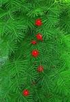 Ipomoea quamoclit red - Ипомея квамоклит (красная) (5 шт).