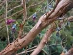 Fuchsia excorticate – Фуксия экскортикат, сбрасывающая кору (10 шт).