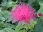 Calliandra rosea - Каллиандра розовая (2 шт).