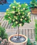 Cephalanthus occidentalis - Цефалантус западный (5 шт).