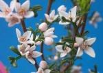 Boronia anemonifolia - Борония анемонолистная (3 шт).