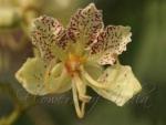 Bauhinia retusa - Баухиния притупленная (2 шт).