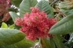 Triplaris cumingiana - Трипларис Камингиана (3 шт).