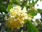 Osmanthus fragrans - Османтус пахучий, Маслина пахучая (2 шт).