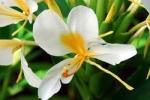 Hedychium gardnerianum x coronarium - Гедихиум Гарднера х венценосный (3 шт).