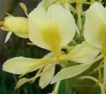 Hedychium flavum - Гедихиум желтый (3 шт).