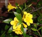 Gelsemium sempervirens - Гельземий вечнозелeный (3 шт).