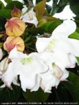 Beaumontia grandiflora - Бьюмонтия (Беаумонтия) крупноцветковая (2 шт).