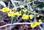 Acacia redolens var. prostrata - Акация сладкопахнущая распростертая (5 шт).