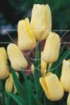 Тюльпан многоцветковый Х.Д.Геншер (H. D. Genscher)