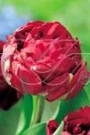 Тюльпан махровый поздний Анкл Том (Uncle Tom)