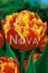 Тюльпан махровый поздний Аллегретто (Allegretto)