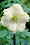 Нарцисс орхидейный Колбланк (Colblanc)