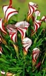 Луковица - Оксалис Пестроцветный, 1 шт.