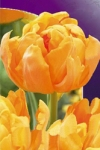 Тюльпан махровый ранний Орка(Orca)