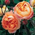Роза Lady Emma Hamilton™ (Ausbrother) *