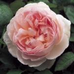 Роза Sharifa Asma™ (Ausreef) *