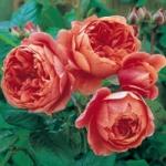 Роза Summer Song™ (Austango) *