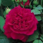 Роза Tess of the d'Urbervilles™ (Ausmove) *