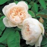 Роза The Generous Gardener™ (Ausdrawn) *