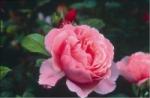 Роза Brother Cadfael™ (Ausglobe) Бразэ Кадфаэл *