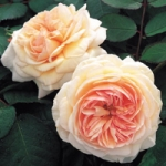 Роза A Shropshire Lad™ (Ausled) Э Шропшиэ Лэд *