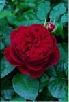 Роза L.D.Braithwaite™ (Auscrim) Эл Ди Брэйзвэйт *