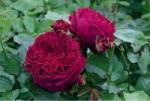 Роза Falstaff™ (Ausverse) Фальстаф *