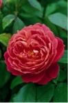 Роза Benjamin Britten™ (Ausencart) Бенджамин Бритен *