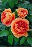 Роза Pat Austin™ (Ausmum) Пэт Остин *