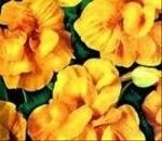 Настурция майская махровая Желтая